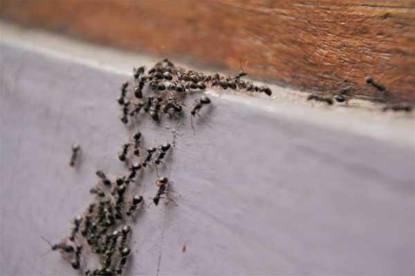 Kammerjaeger-Ameisen