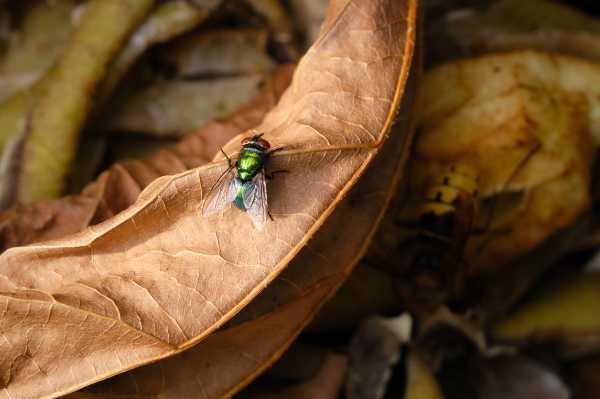 Kammerjaeger-Fliegen
