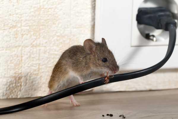 Kammerjaeger-Maus