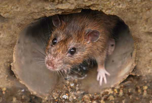 Kammerjaeger-Ratte