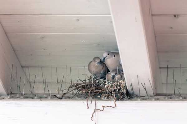 Kammerjaeger-Vogelabwehr