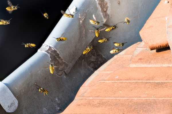 Kammerjaeger-Wespen